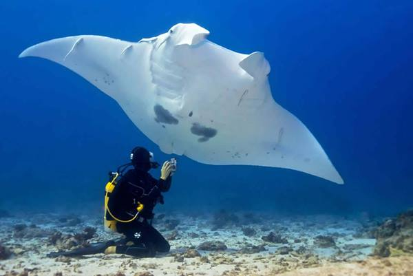 Swimming with Manta Rays